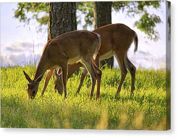 Canvas Print featuring the photograph The Whitetail Deer Of Mt. Nebo - Arkansas by Jason Politte