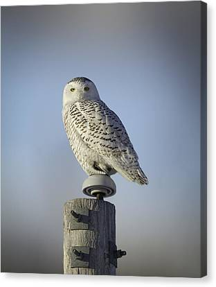 The Wise Snowy Owl Canvas Print by Thomas Young