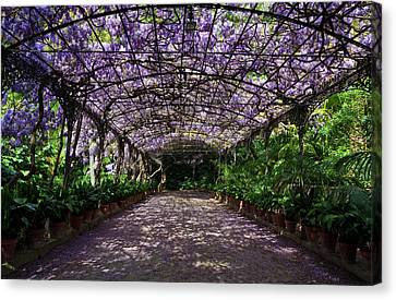 Malaga Canvas Print - The Wisteria Arbour In Full Bloom by Panoramic Images