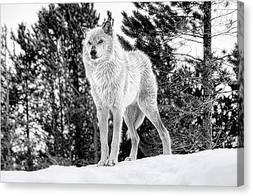 The Wolf  Canvas Print by Fran Riley