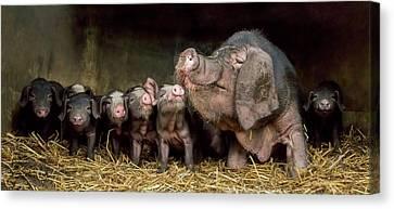 Pigs Canvas Print - The Wrinkled Ones by Gert Van Den