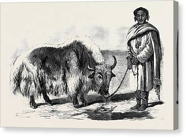 The Yak Or Thibet Ox From A Drawing By W Canvas Print by English School