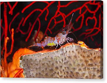 The Yellow Eggs Of This Female Reticulated Hinge-beak Shrimp _cinetorhynchus Teticulatus_ Can Be Seen Through The Sides Of It_s Tail, Photographed At Nighttime_ Fiji Canvas Print by Dave Fleetham
