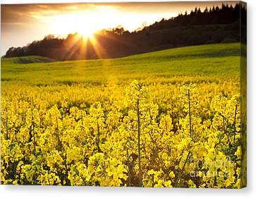 The Yellow Rapeseed Field Beautiful Canvas Print by Boon Mee