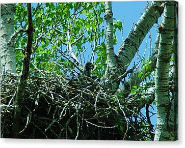 The Young Eaglet Peaks Out  Canvas Print by Jeff Swan
