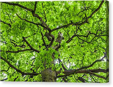 The Young Oak Canvas Print by Semmick Photo