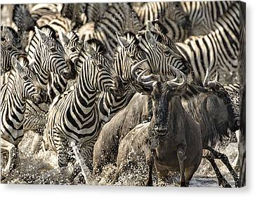 The Zebra Rush Canvas Print by Paul W Sharpe Aka Wizard of Wonders