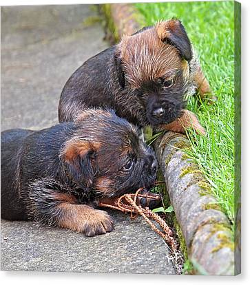 They Can Still See You - Border Terrier Puppies Canvas Print