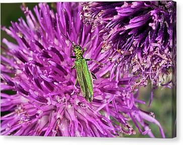 Eating Entomology Canvas Print - Thick-legged Flower Beetle On Knapweed by Bob Gibbons