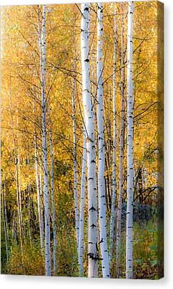 Thin Birches Canvas Print by Ari Salmela