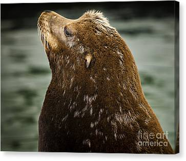 Things Are Looking Up-sealion Canvas Print by David Millenheft