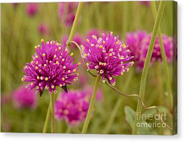 Tangled Up In Pink Canvas Print
