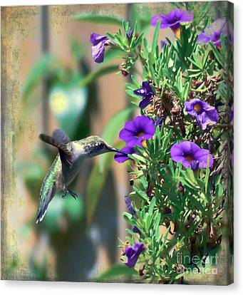 Hummingbird Canvas Print - Thirst Quenching  by Kerri Farley