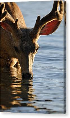 Thirsty Deer In Lake Mcdonald Canvas Print by Bruce Gourley