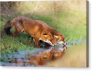 Pairs Canvas Print - Thirsty by Pim Leijen