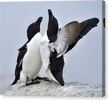 Razorbill Canvas Print - This Much by Tony Beck