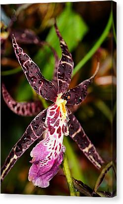 This Orchid Is A Star Canvas Print by Beth Akerman