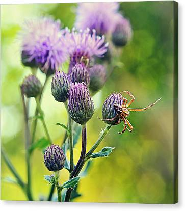 Thistle And Spinner Canvas Print by Gynt