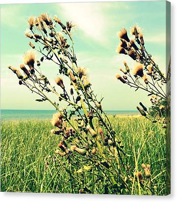 Thistle On The Beach  Canvas Print by Michelle Calkins