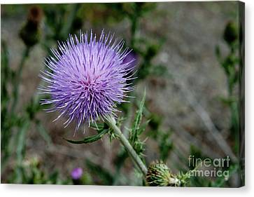 Canvas Print featuring the photograph Thistle by Rod Wiens