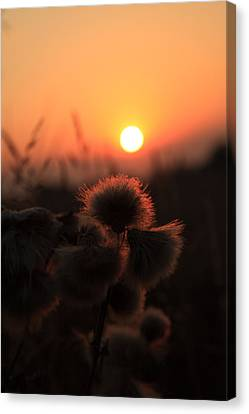 Thistles At Sunset Canvas Print by Paul Lilley