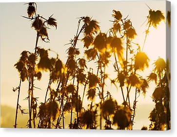 Thistles In The Sunset Canvas Print by Chevy Fleet