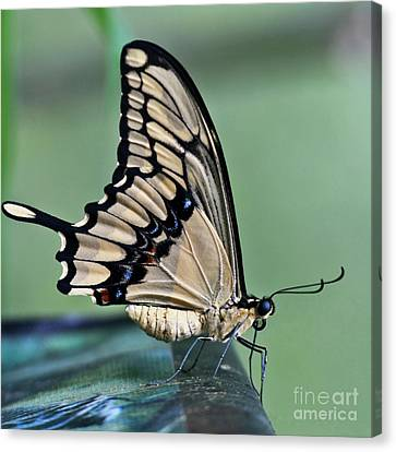 Thoas Swallowtail Butterfly Canvas Print by Heiko Koehrer-Wagner
