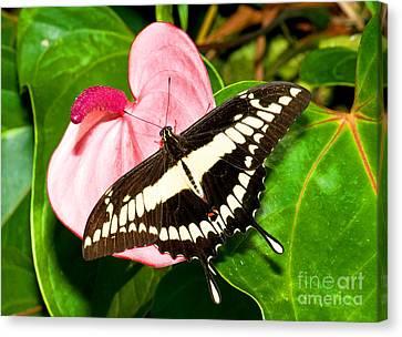 Thoas Swallowtail Butterfly Canvas Print by Millard H. Sharp