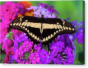 Thoas Swallowtail Butterfly, Papilo Canvas Print by Darrell Gulin