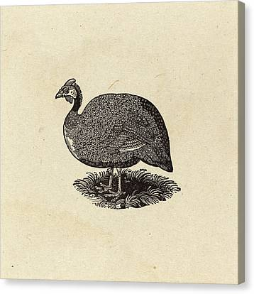 Thomas Bewick British, 1753 - 1828, Guinea Hen Canvas Print by Quint Lox
