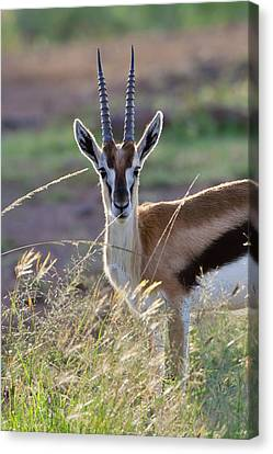 Thomson's Gazelle (gazella Thomsoni Canvas Print by Keren Su
