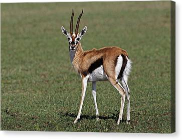 Thomson's Gazelle, Maasai Mara, Kenya Canvas Print by Adam Jones