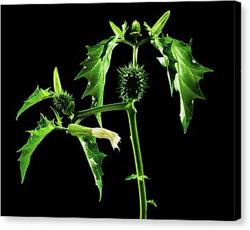 Thorn Apple (datura Stramonium) Canvas Print