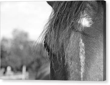 Thoroughbred B/w Canvas Print by Jennifer Ancker