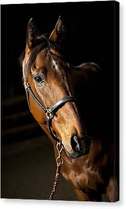 Thoroughbred Race Horse Canvas Print by Samuel Whitton