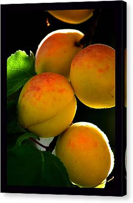 Those Glowing Golden Apricots Canvas Print by Susanne Still