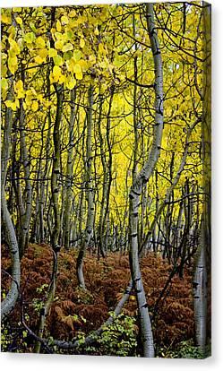Canvas Print featuring the photograph Through The Aspen Forest by Ellen Heaverlo
