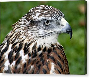 The Threat Of A Predator Hawk Canvas Print