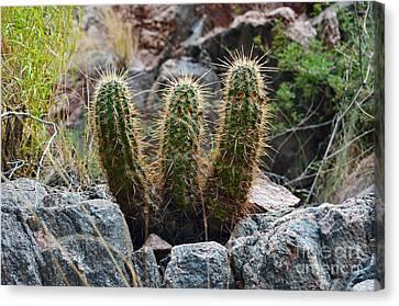 Grand Canyon Canvas Print - Three Amigos Cacti At The Bottom Of The Grand Canyon by Shawn O'Brien