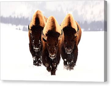 Bison Canvas Print - Three Amigos by Steve Hinch