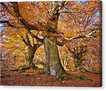 Three Ancient Beech Trees - Germany Canvas Print by Martin Liebermann