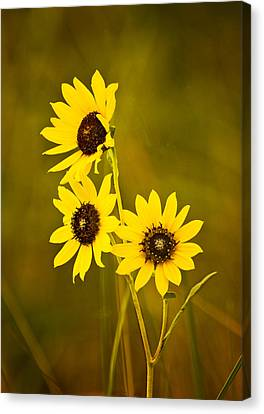 Canvas Print featuring the photograph A Trio Of Black Eyed Susans by Gary Slawsky