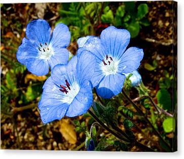 Three Baby Blue Eyes In Park Sierra-ca Canvas Print by Ruth Hager