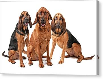 Three Bloodhound Dogs Isolated On White Canvas Print by Susan Schmitz