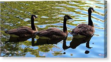 Three Canadian Geese Canvas Print by Deborah Fay