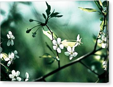 Three Cherry Flowers - Featured 3 Canvas Print by Alexander Senin