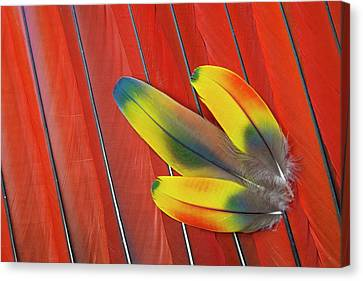 Three Covert Feathers Laying On Scarlet Canvas Print
