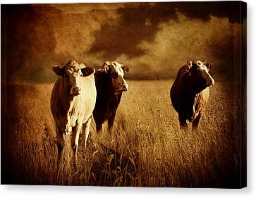 Farm Fields Canvas Print - Three Cows by Heike Hultsch