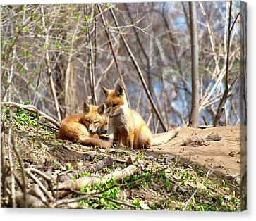 Fox Kit Canvas Print - Three Cute Kit Foxes 1 by Thomas Young