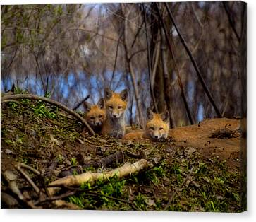 Three Cute Kit Foxes At Attention Canvas Print by Thomas Young